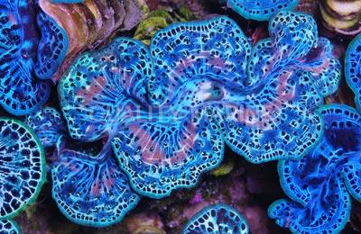 Las tridacnas son uno de los pocos moluscos que albergan zooxantelas