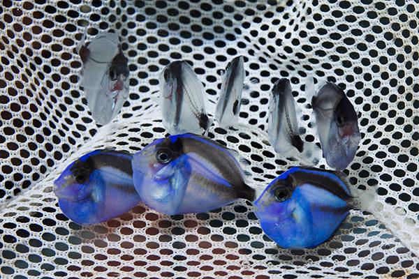 Jovenes Paracanthus hepatus criados en cautividad